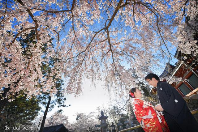 氷室神社 桜 前撮り